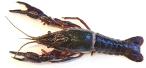 ezine/Red_swamp_crayfish_Procambarus_clarkii_Prohibited_Photo-_Minnesota_Aquatic_Invasive_Species_Research_Center.jpg